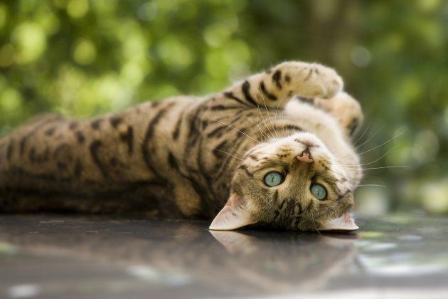 умные породы кошек: бенгальская