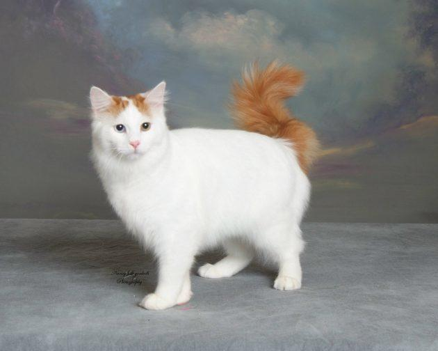 умные породы кошек: турецкий ван