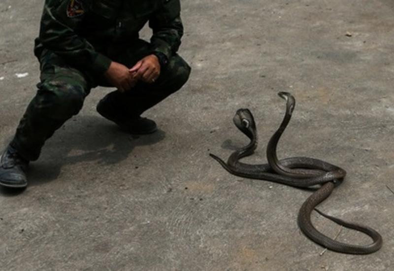 Укротитель змей умер от укуса кобры
