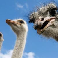 Почти анекдот - нищая Армения хочет стать экспортером страусов
