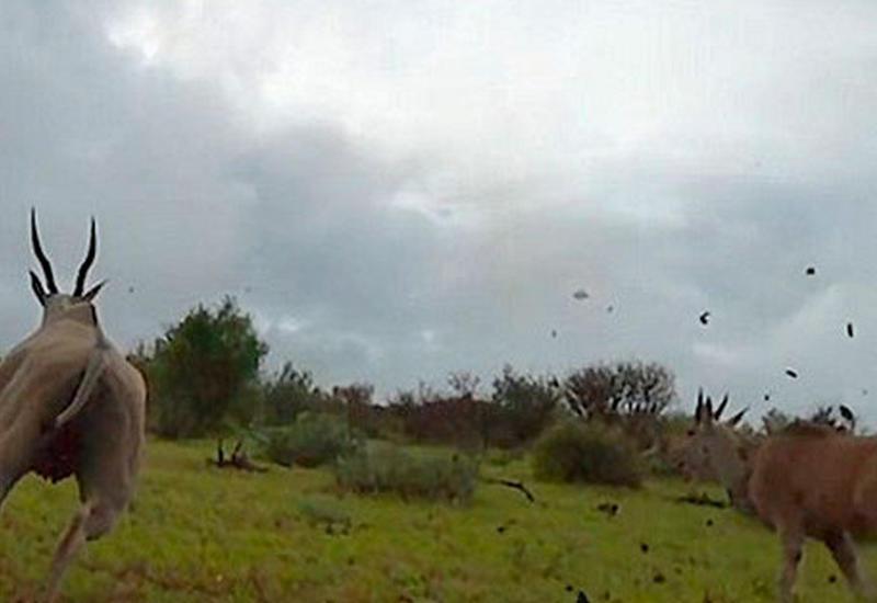 """Опубликованы кадры охоты гепарда от первого лица <span class=""""color_red"""">- ВИДЕО</span>"""