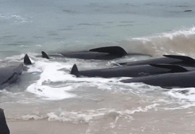 """В Австралии на берег выбросились более 150 дельфинов <span class=""""color_red"""">- ОБНОВЛЕНО - ВИДЕО</span>"""