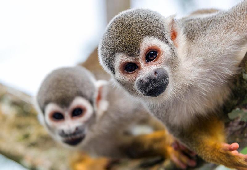 В Новой Зеландии обезьяны прогнали пришедших за ними воров