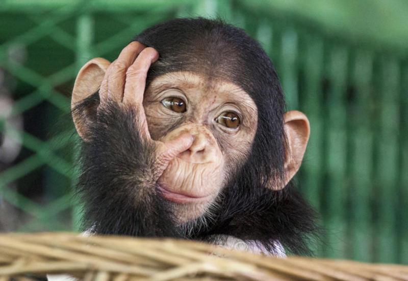 Смартфоны убивают горилл и других человекообразных обезьян