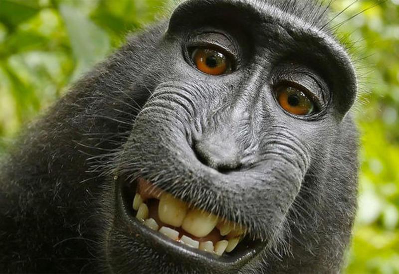 Американский суд отказал животным в авторских правах на селфи
