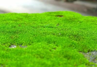 """Зеленый мох может быть полезен для здоровья <span class=""""color_red"""">- ИССЛЕДОВАНИЕ</span>"""