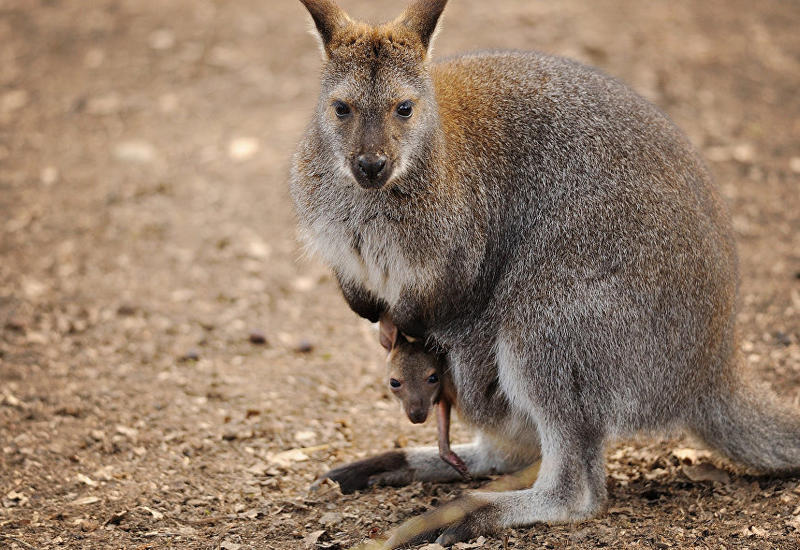 В Австралии кенгуру запретили ходить в любимый бар