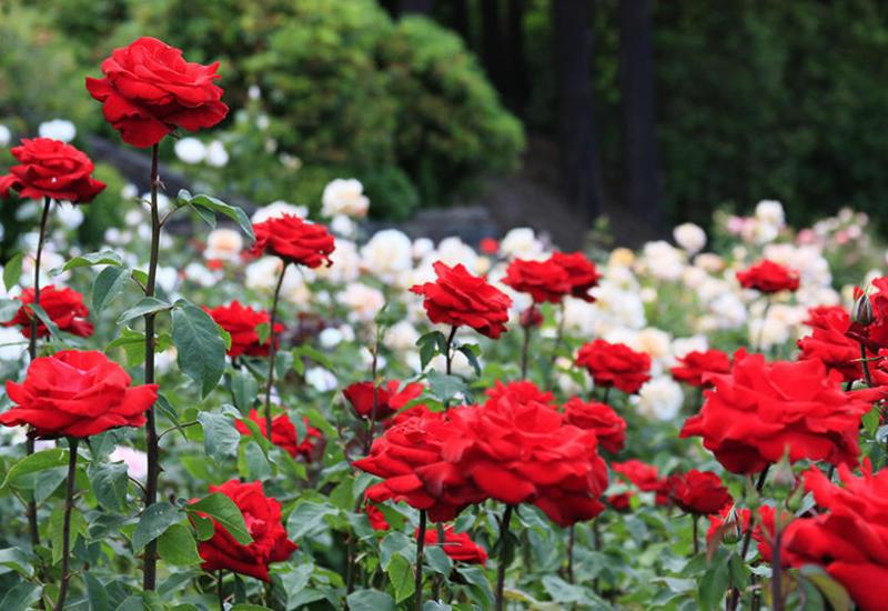 В Баку пройдет выставка роз