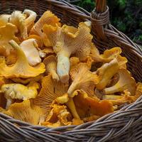 Самые опасные съедобные грибы