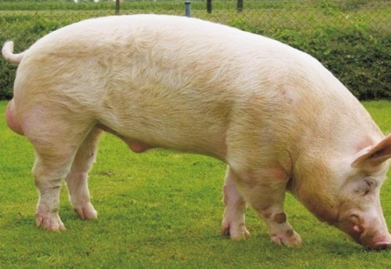 Свинья преследовала американца ичуть несвела сума