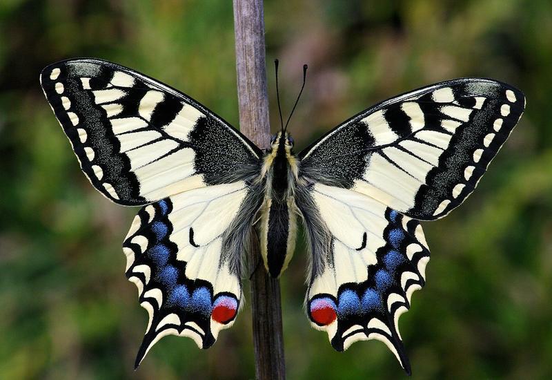 В Лянкяране найдена занесенная в Красную книгу бабочка