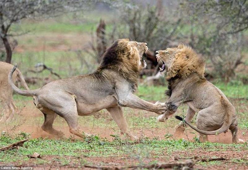 Неласковый прием: львы защитили свою территорию от непрошенных гостей