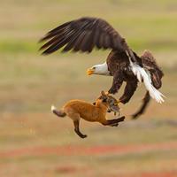 """Американский фотограф заснял эпичную схватку орлана и лисы <span class=""""color_red"""">- ВИДЕО</span>"""