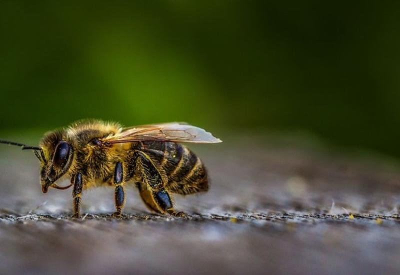 Ученые предупреждают:  пчелам грозит вымирание