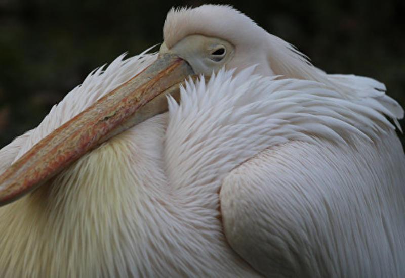 """В чучеле пеликана в киевском музее нашли 178-летнюю записку <span class=""""color_red"""">- ФОТО</span>"""