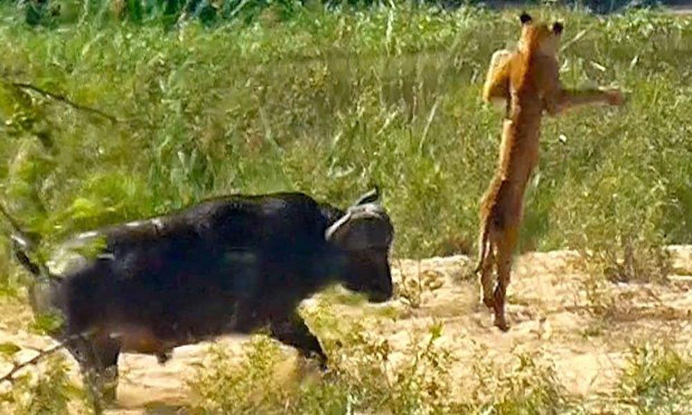 Буйвол напал на юного льва иподбросил его ввоздух