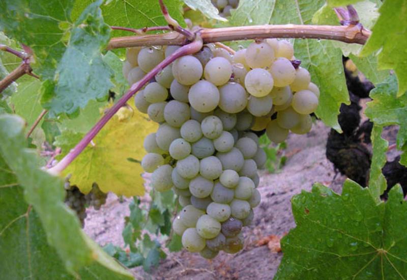 Грузия планирует выращивать виноград на Марсе