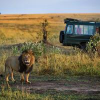"""Турист попытался погладить льва и чуть не лишился руки <span class=""""color_red"""">- ВИДЕО</span>"""