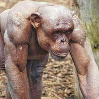 Лысый шимпанзе-качок вызвал стыд у пользователей сети