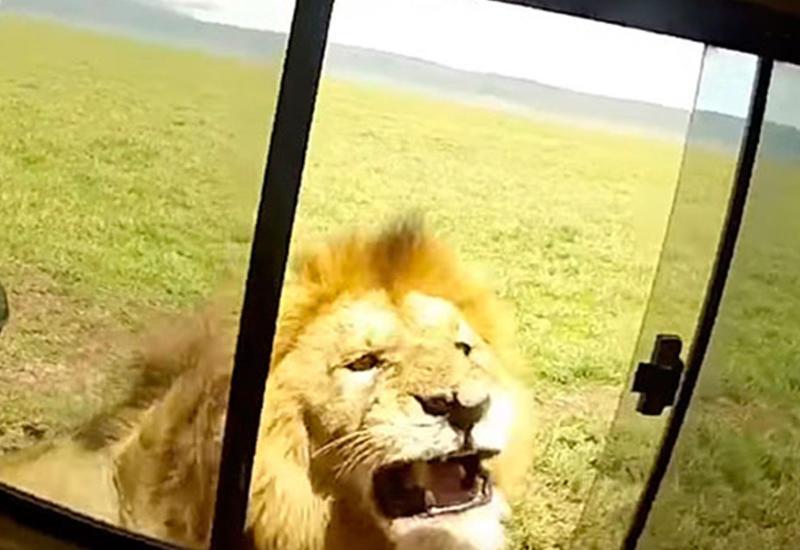 Турист, хотевший погладить льва, чудом спасся в автомобиле