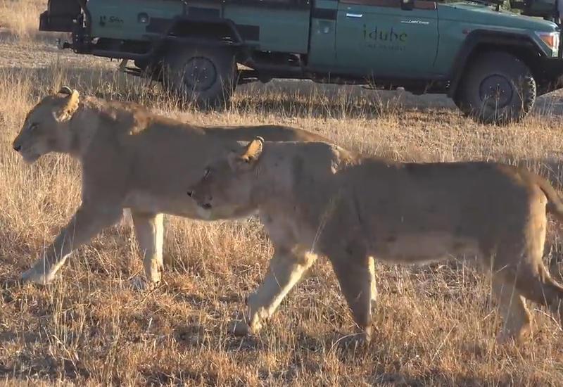 """Все кошки любят пакеты: в Африке львы поиграли с пластиковым мешком <span class=""""color_red"""">- ВИДЕО</span>"""
