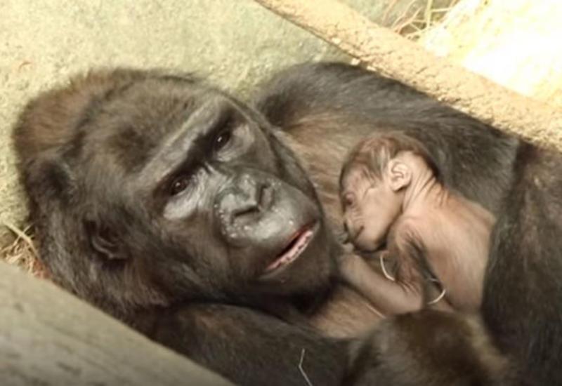 """В чикагском зоопарке показали недавно родившуюся самку гориллы <span class=""""color_red"""">- ВИДЕО</span>"""