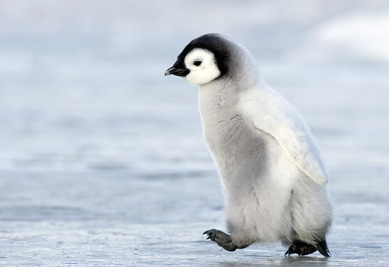 В лондонском зоопарке спасли пингвиненка