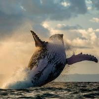"""Сражение горбатого кита с косатками за жизнь детеныша сняли на видео <span class=""""color_red"""">- ВИДЕО</span>"""