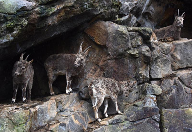 Во Франции на мужчину напал горный козел