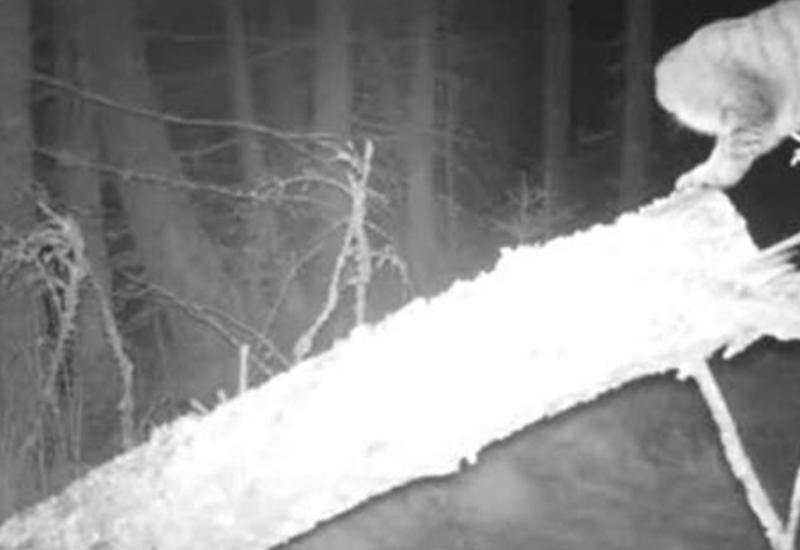 """В шотландских горах нашли редчайших в мире котят <span class=""""color_red"""">- ВИДЕО</span>"""