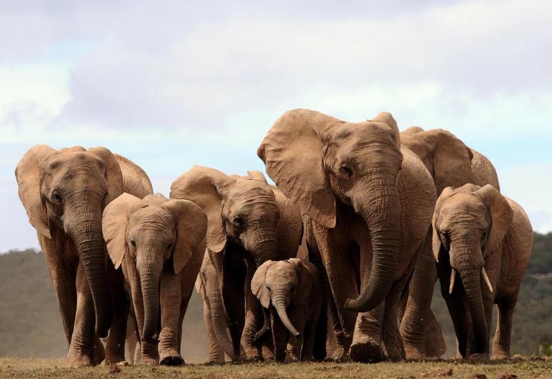 Почему слоны ведут себя как люди