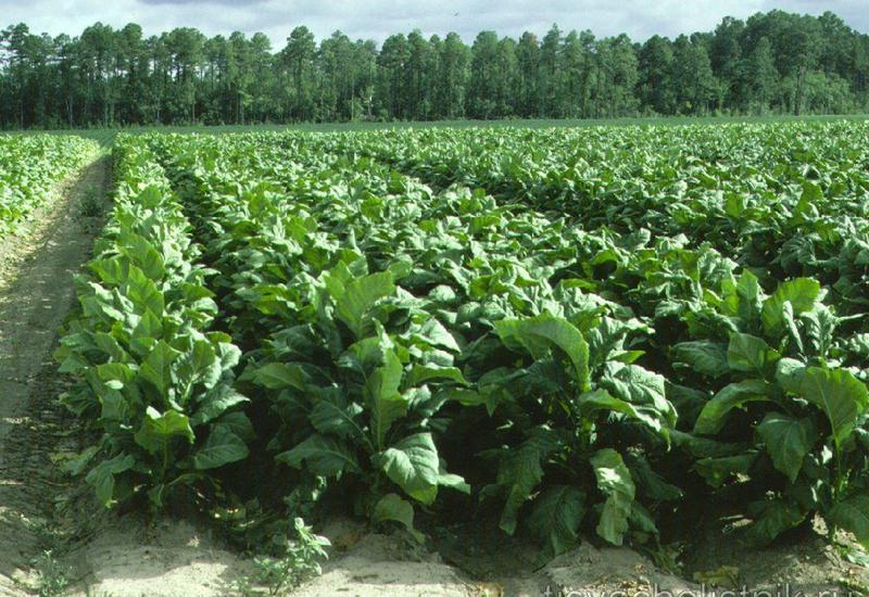 Состояние табачных плантаций в Азербайджане после сильных дождей