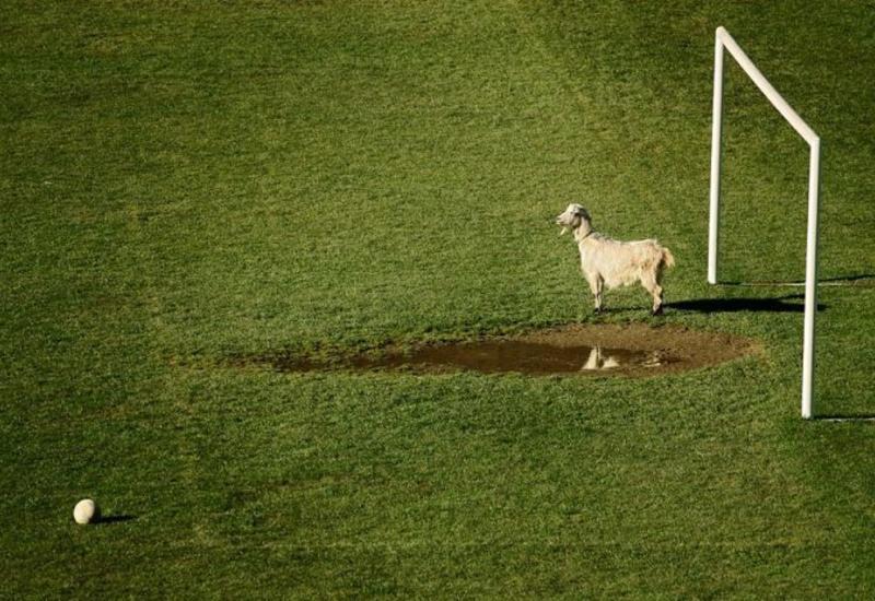 Турецкий клуб купил коз вместо футболистов