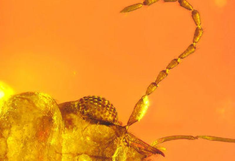 В янтаре найден жук-опылитель возрастом 99 млн лет