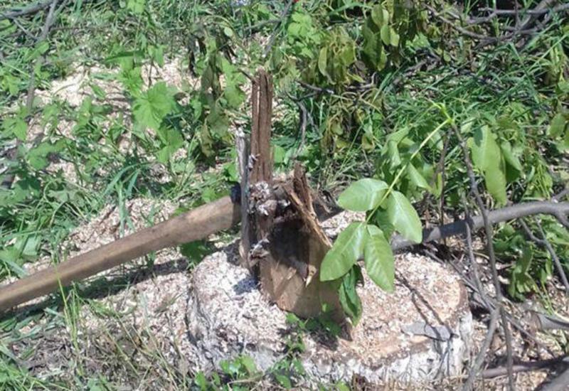 Прокуратура расследует факт массовой вырубки деревьев в Хачмазе
