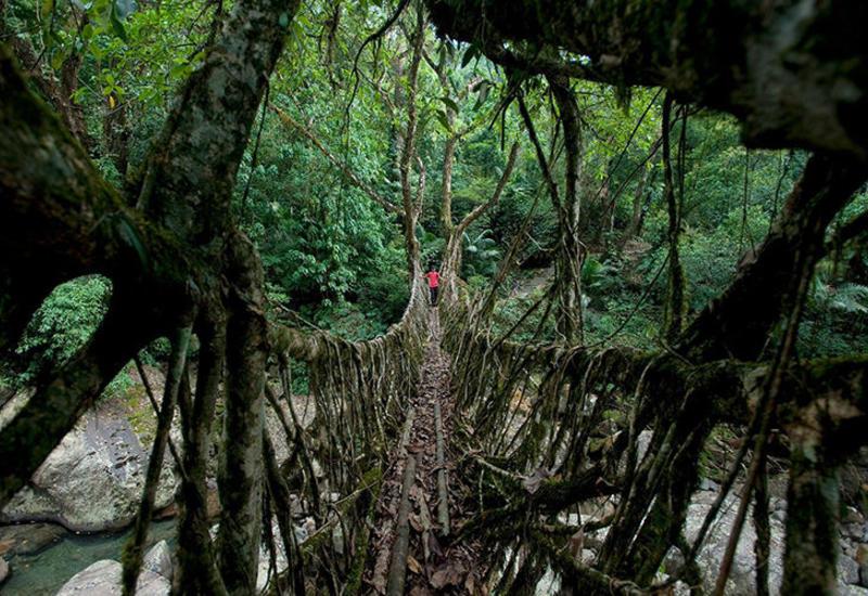 """Живые мосты в Индии - удивительная природная архитектура <span class=""""color_red"""">- ФОТО</span>"""