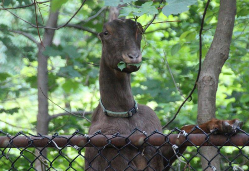 В Нью-Йорке козы нарушили движение поездов метрополитена