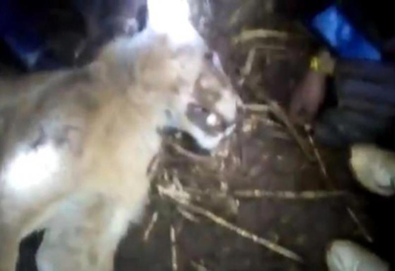 В Кении корова задушила напавшего на нее льва