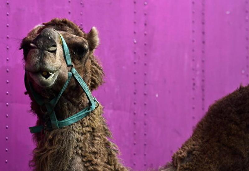 В США семь человек пострадали при инциденте с верблюдом в цирке