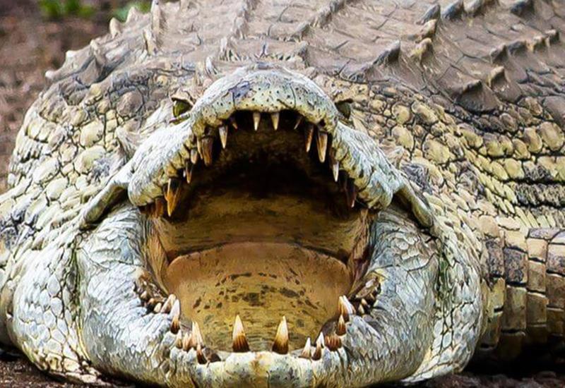 Маразм крепчает - крокодил как двигатель армянской экономики