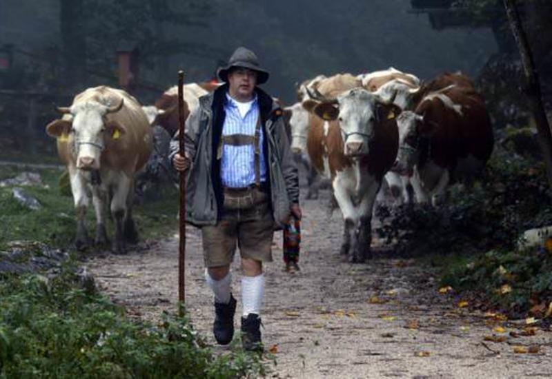 Загадка про стадо коров