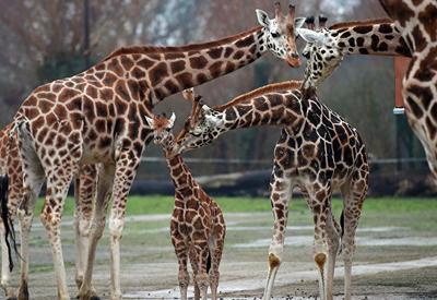 """Ученые выяснили, что детеныши жирафов """"наследуют"""" пятна от матери"""