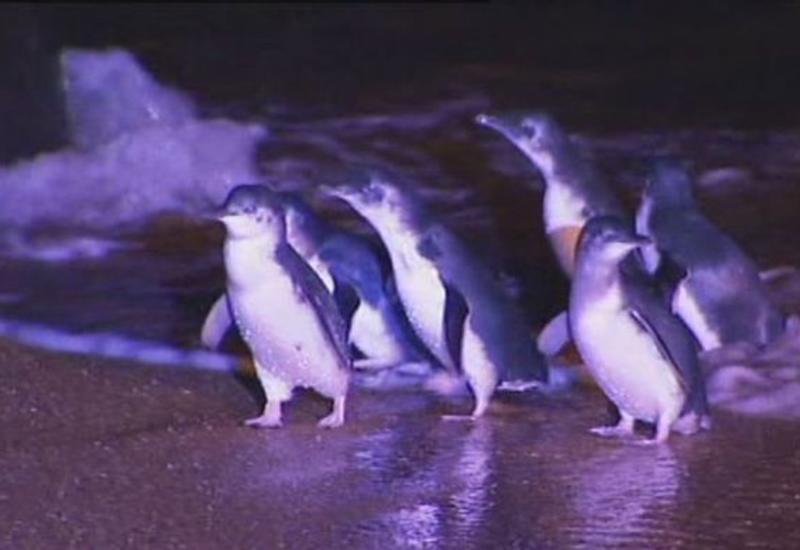 В Австралии собаки загрызли 58 пингвинов