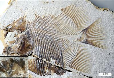 """Палеонтологи нашли в Германии останки древней пираньи <span class=""""color_red"""">- ФОТО</span>"""