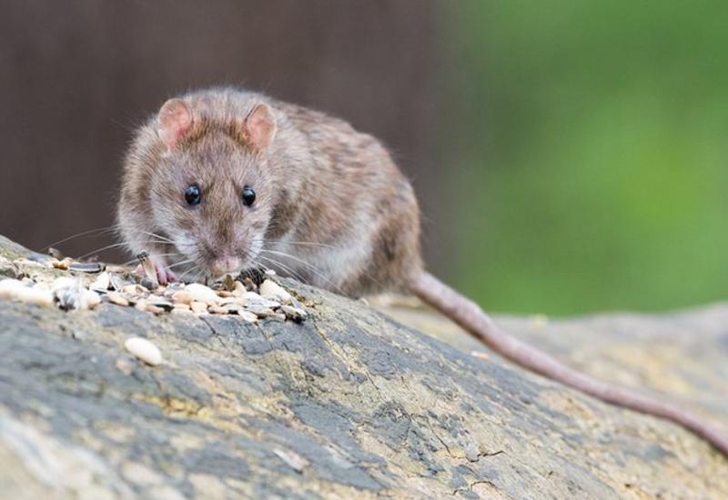 """Крысы пожирают """"Большое яблоко"""": в Нью-Йорке нашествие грызунов"""