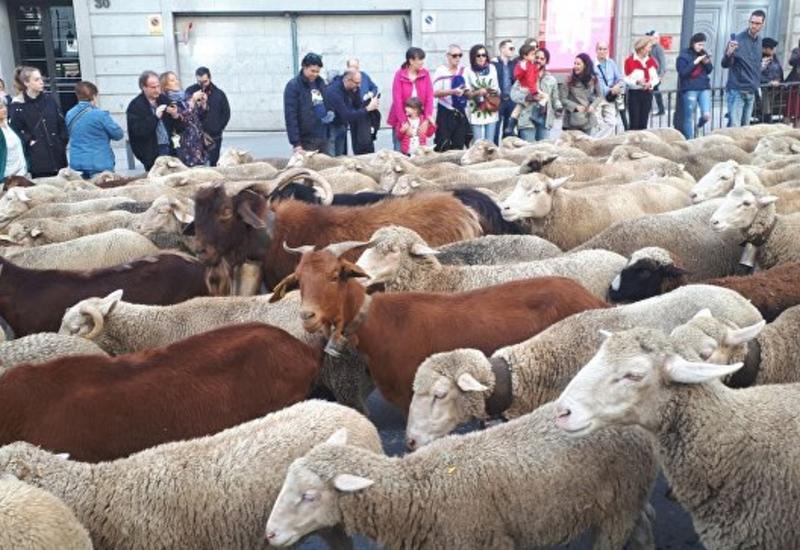 "Через центр Мадрида прогнали полторы тысячи овец <span class=""color_red"">- ФОТО</span>"