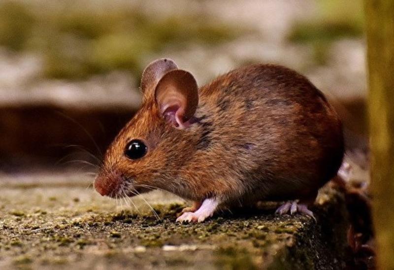 Защитники птиц пообещали уничтожить гигантских мышей на острове в Атлантике