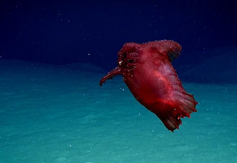 """В Тихом океане впервые сфотографировали """"безголового куриного монстра"""""""
