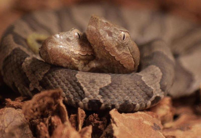 """В Германии появилась редкая двухголовая змея <span class=""""color_red"""">- ФОТО</span>"""