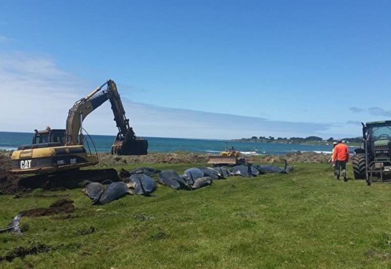 В Новой Зеландии около 80 дельфинов выбросились на берег
